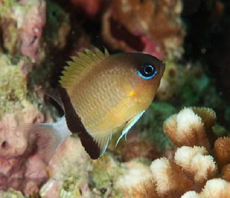Chromis retrofasciata (Blackbar Chromis)