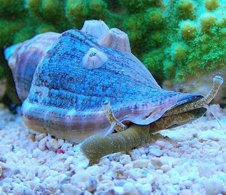 Strombus luhuanus (Strawberry conch)