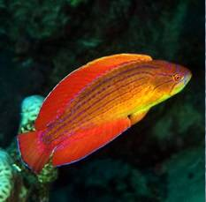 Eightline Flasher Wrasse
