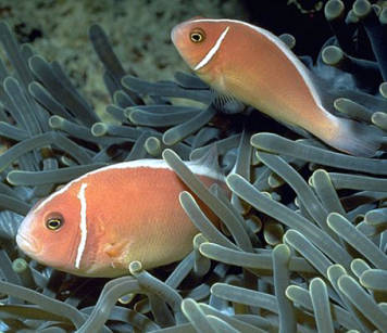 Amphiprion periderion (Pink Skunk Clownfish)