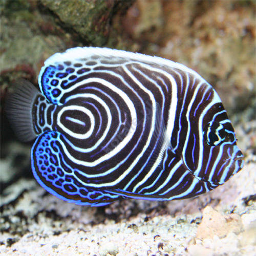 Pomacanthus imperator emperor angelfish m ody osobnik for Oily fish representative species