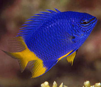 Chrysiptera parasema (Yellowtail Damselfish)