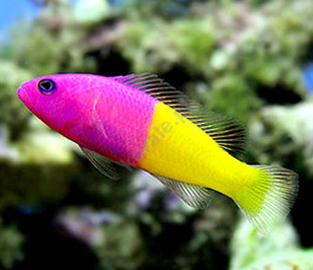 Pictichromis paccagnellae (Bicolor Dottyback)