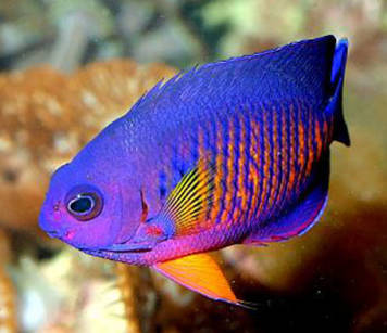 Centropyge bispinosa (Coral Beauty Angelfish)