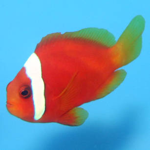Amphiprion frenatus (Tomato Clownfish)