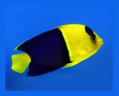 Centropyge bicolor (Bicolor Angelfish)