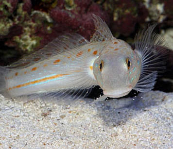 Valenciennea Puellaris (Diamond Watchman Goby)